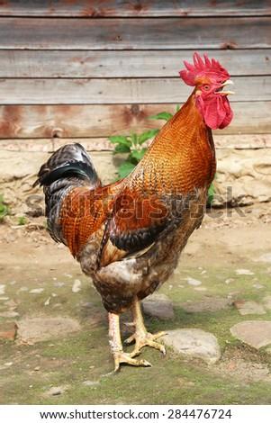 cock  - stock photo