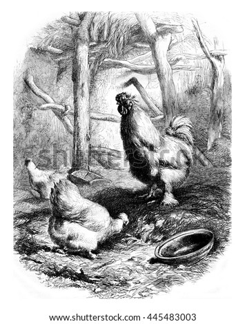 Cock and Hens race, vintage engraved illustration. Magasin Pittoresque 1861.