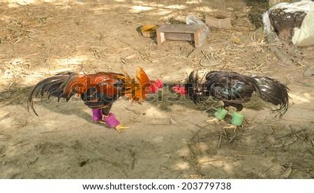 cock fighter in a farm - stock photo