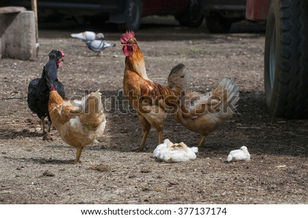 cock, hens and chicken