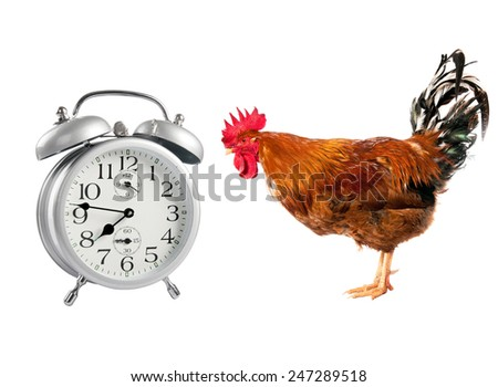 Cock looking at the alarm clock. isolated - stock photo