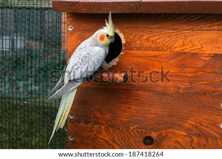 Cockatiel bird and nest box - stock photo