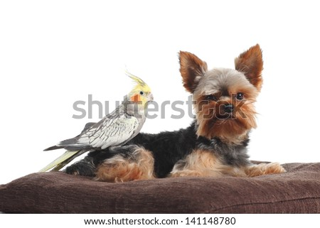 Cockatiel bird over a yorkshire Terrier pet posing together on a pillow isolated on a white background - stock photo