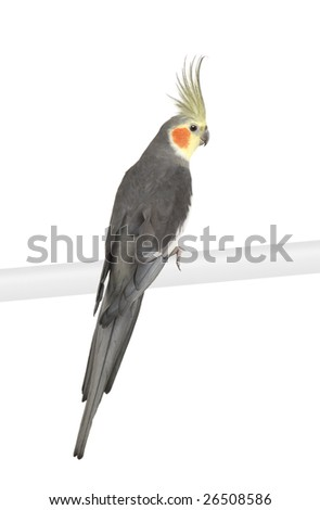 Cockatiel - Nymphicus hollandicus in front of a white background - stock photo