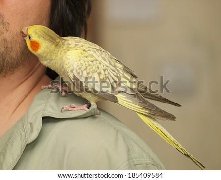 Cockatiel (Nymphicus hollandicus) parrot cleans face of man. - stock photo