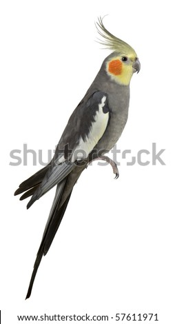 Cockatiel, Nymphicus hollandicus, perched in front of white background - stock photo