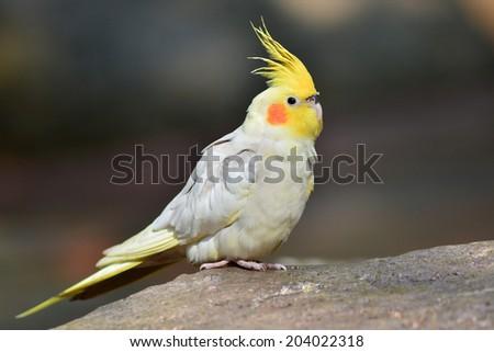 Cockatiel, Nymphicus hollandicus,standin g on a rock - stock photo