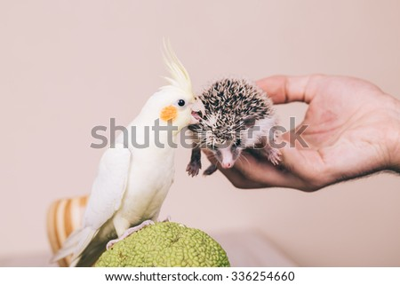Cockatiel parrot with African pygmy parrot. Old film look. Selective focus. - stock photo