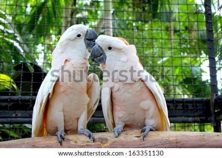 Cockatoo - stock photo