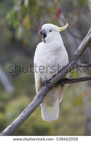 Cockatoo, Australian native Parrot
