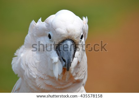 Cockatoo Closeup A very photogenic cockatoo with a slightly pink tint or hue to its feathers. This is one of the most beautiful and even slightly majestic birds we have seen in awhile. - stock photo