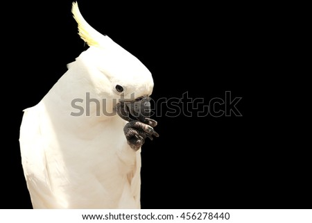 Cockatoo, closeup portrait isolated over black background for copy space - stock photo