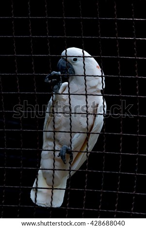 cockatoo in the cage , Sulphur crested cockatoo in the cage , white cockatoo - stock photo