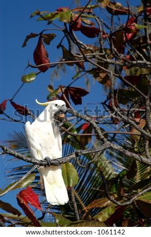 Cockatoo in Tree - stock photo