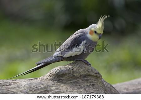 cockatoo parrot, (Nymphicus hollandicus) Australia - stock photo