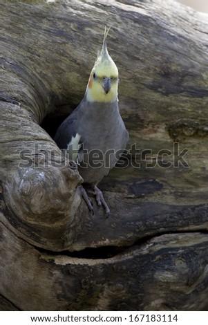 cockatoo parrot, Nymphicus hollandicus, Australia - stock photo
