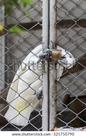 Cockatoo trapped in a steel cage.bite the key because it's want fly to freedom. - stock photo
