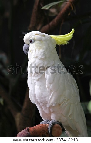 Cockatoo with white feathers and yellow mohawk