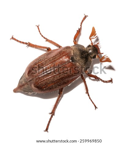 Cockchafer (Melolontha) isolated, May beetle on white background - stock photo