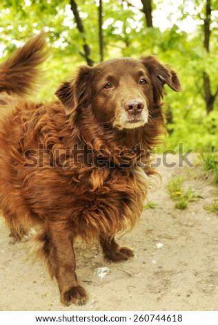Cocker Spaniel dog - stock photo