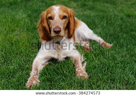 Cocker Spaniel Dog In Green Grass