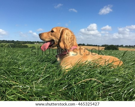 Cocker spaniel dog lying down in open countryside during an off lead walk on a fine summers day