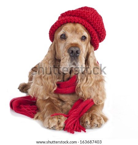 Cocker spaniel dog with christmas gift