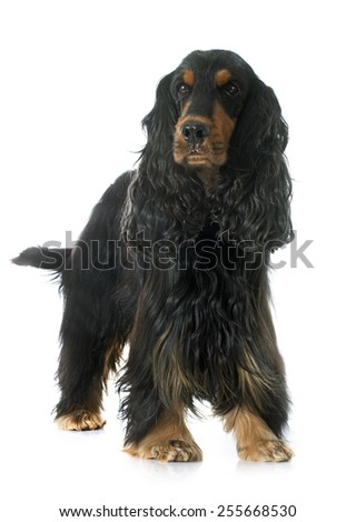cocker spaniel in front of white background - stock photo