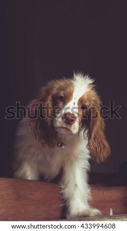 cocker spaniel isloated in Vintage tone. studio portrait. - stock photo