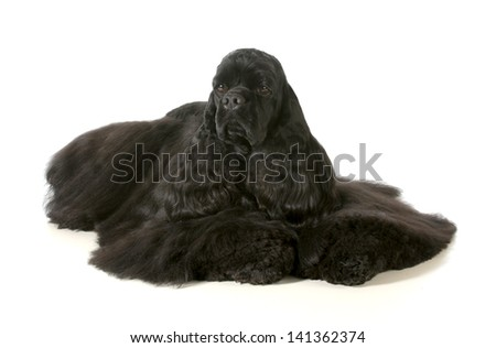cocker spaniel - male american cocker spaniel show dog laying down isolated on white background - stock photo