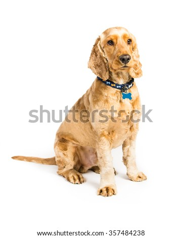 cocker spaniel on a white background