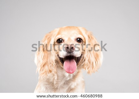 Cocker Spaniel portrait in gray background