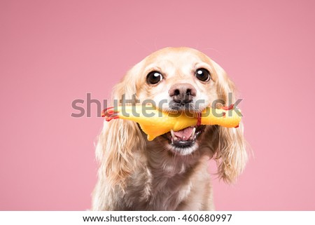 Cocker Spaniel portrait in pink background