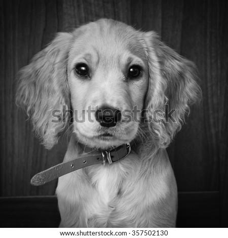 Cocker spaniel pup black and white portrait. - stock photo