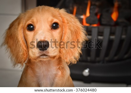 cocker spaniel puppy by the fire keeping warm - stock photo