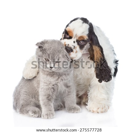 Cocker Spaniel puppy embracing and licking young kitten. isolated on white background