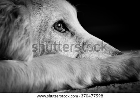 Cocker spaniel puppy looking sad, image processed in black and white - stock photo
