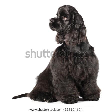 Cocker spaniel puppy , 4 mounth - stock photo