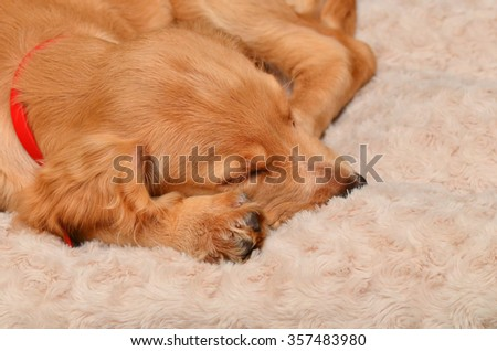 Cocker spaniel puppy relaxing on her bed - stock photo