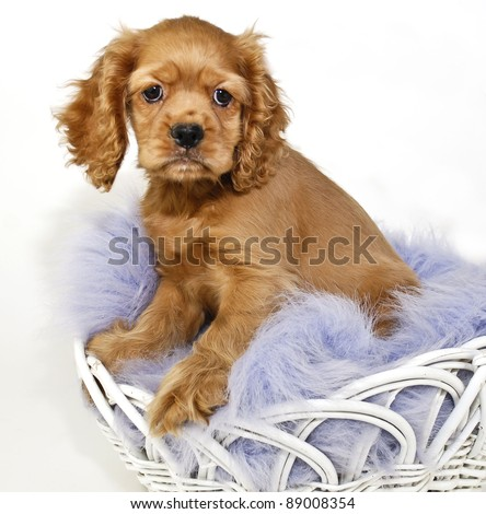 Cocker Spaniel Puppy sitting in a basket with a purple blanket on a white background.