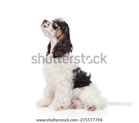 Cocker Spaniel puppy sitting in profile and looking up. isolated on white background - stock photo