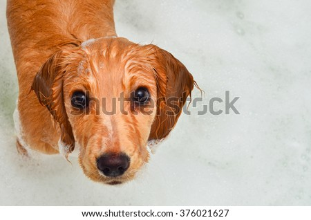 Cocker spaniel puppy taking a bath in bubbles