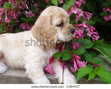 cocker spaniel puppy (6 weeks old, champion stock) - stock photo