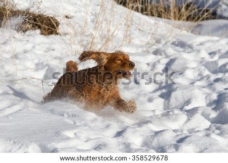 cocker spaniel running in the snow with a grimace brilliant