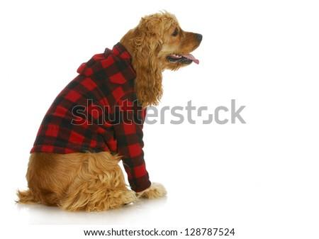 cocker spaniel wearing dog coat sitting side profile isolated on white background - stock photo