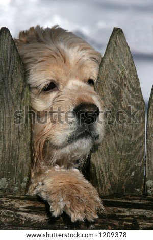 cocker spaniel with face and paw between fence
