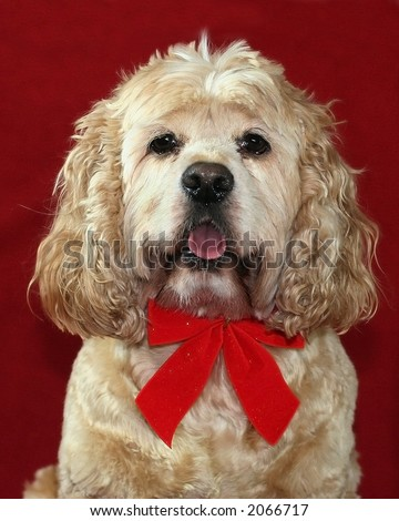 cocker spaniel with red bow tie