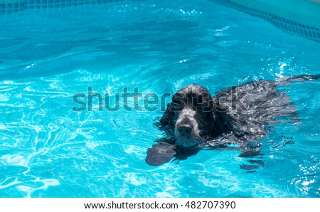 Cocker swimming in a pool bath and swimming