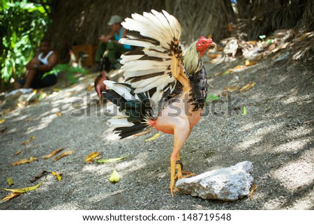 Cockfights in Cuba - stock photo