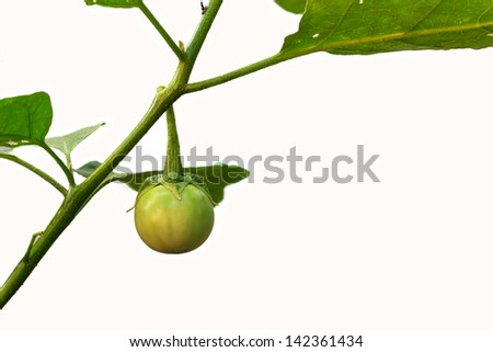 Cockroach Berry or green eggplant on white background